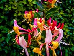 Honeysuckle flowers via Fragrantica.