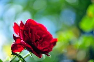"""""""Red Rose with green-blue bokeh"""" by Pohlmannmark on Deviantart.com. (Website link embedded within.)"""