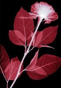 Rose x-ray by Hugh Turvey via amusingplanet.com