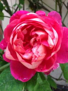 Another rose in Liz Moores' garden. Photo: Liz Moores & Papillon Perfumery.