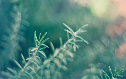 Rosemary. Source: hdwallpapers.in
