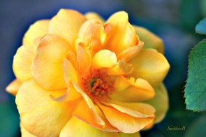Photo by SwittersB via his website. (Direct website link embedded within. Click on image for some gorgeous rose photos.)