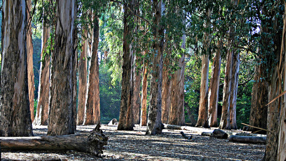 Eucalyptus grove at Berkeley. Photo: John-Morgan. Source: science.kqed.org