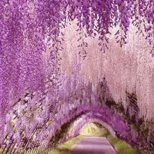 The Wisteria Tunnel at Japan's Kawachi Gardens. Source: Pinterest.