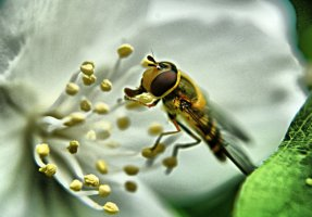 """Bee on the jasmine"" by OlgaC on Deviant Art. (Direct website link embedded within.)"
