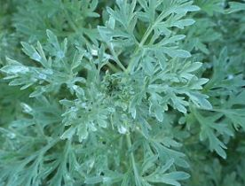 Artemisia or Wormwood, photo via ebay.com