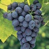 Concord grapes. Source: gurneys.com