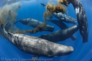 Sperm whales, pooing on Tony Wu, a photo-naturist and blogger who seems to be frequently defecated up on the whales and has captured each and every image on his site. (Direct link embedded within.)