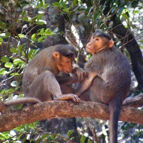 Matheran's Bonnet macacque or Macaca monkeys. Source: Wikicommons