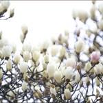 白木蓮とヒヨドリ