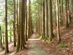 参道の見事な杉並木