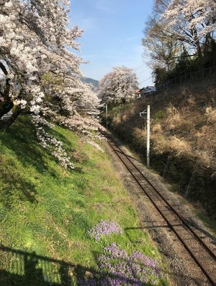 御殿場線山北駅線路わきの桜