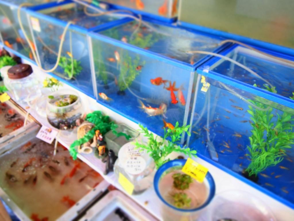 観賞用の魚