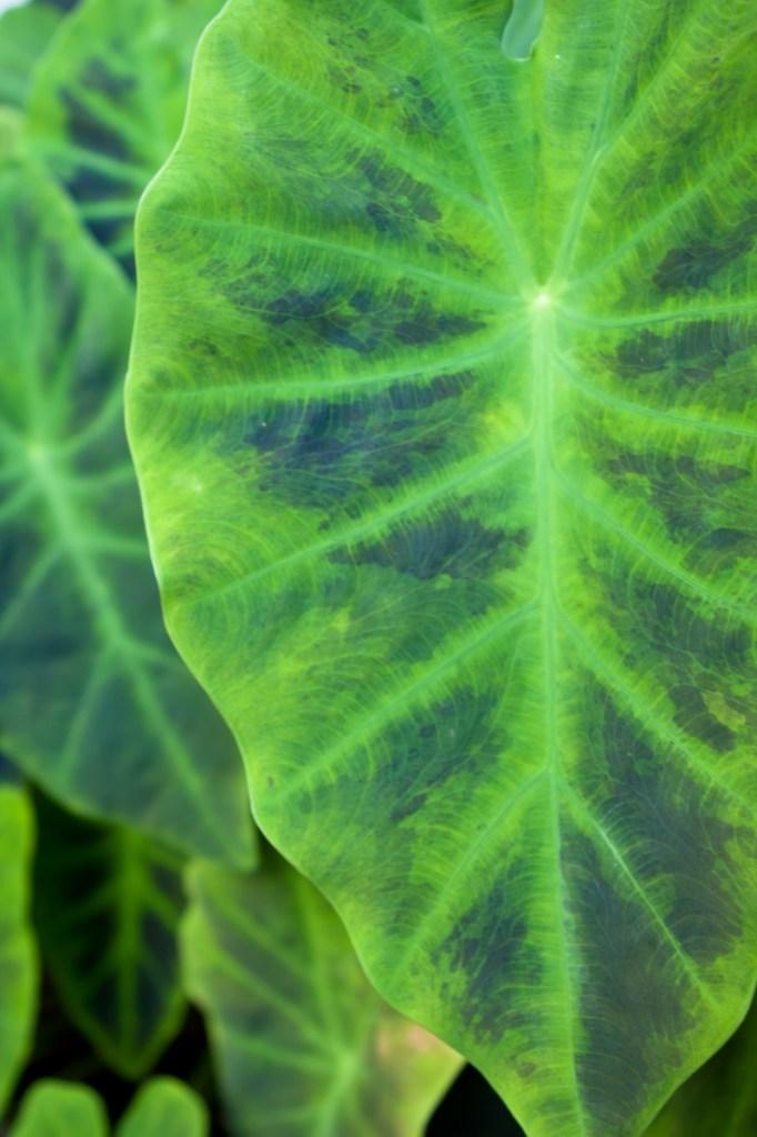 Taro leaf_800x1200