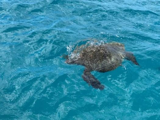 Waikiki Turtle Snorkeling Tours