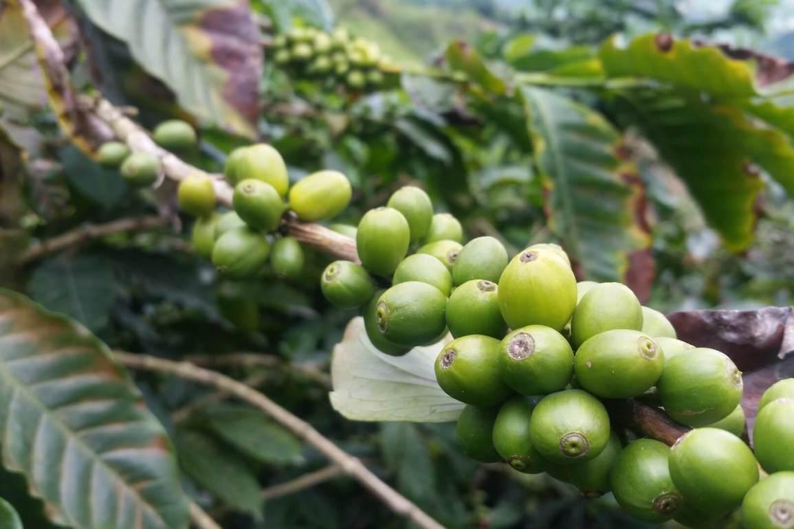 kolombiya kahve meyvesi