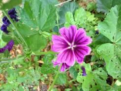 Malve Flower