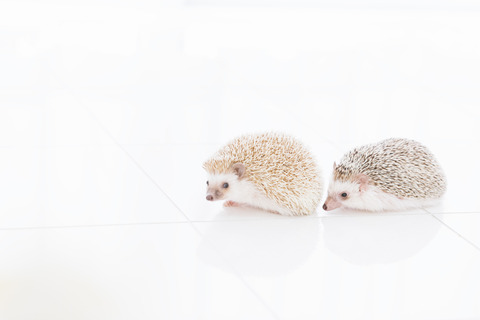 hedgehogIMGL8983_TP_V