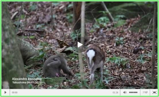 鹿と交尾するサル