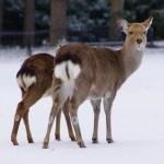 鹿は冬眠するの?どのようにして冬を過ごすのか?