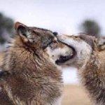 狼の愛情表現がかわいすぎる!愛が深い生き物である!