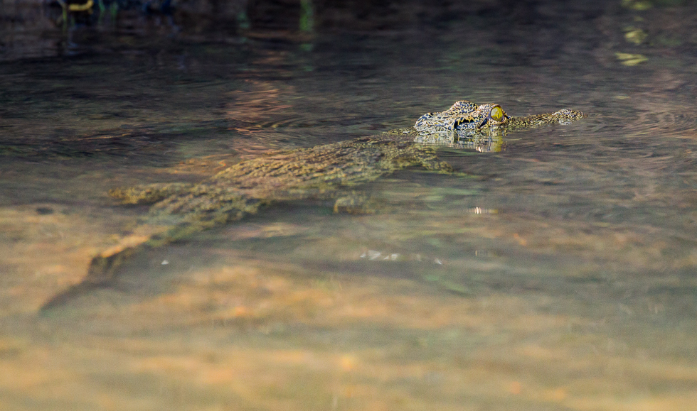 Young croc