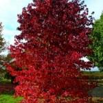 Specimen Trees