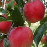 APPLE 'HETLINA' (MM106)