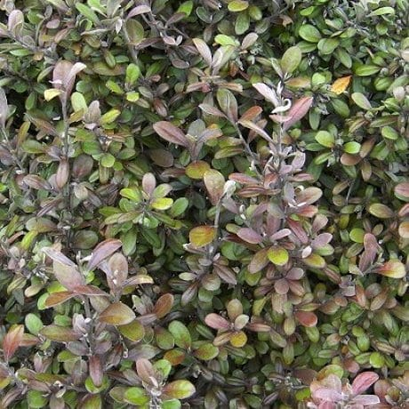 COROKIA 'FROSTED CHOCOLATE'