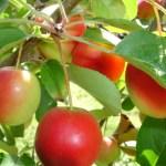 Edibles/Fruit Trees