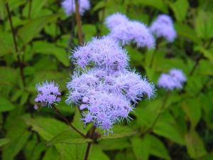 AGERATUM 'BLUE MIST'