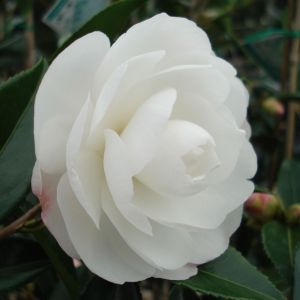 CAMELLIA 'EARLY PEARLY'