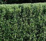 COROKIA GEENTYS GREEN