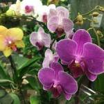 ORCHID ASSORTED