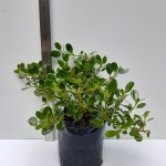 COPROSMA 'POOR KNIGHTS'