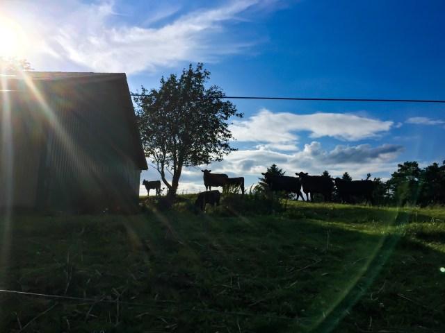 Spanske køer på Mols