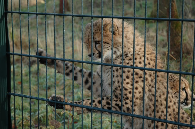 Gepardunge