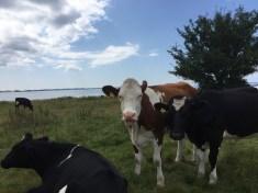 Køer på Mols - Kalø slotsruin