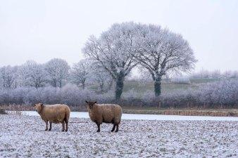 Schafe am Teich