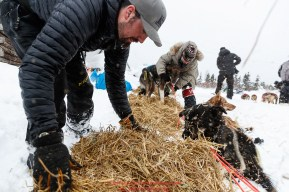 Pete Kaiser puts out straw for his dogs at the Kaltag checkpoint on Saturday March 9th during the 2019 Iditarod Trail Sled Dog Race. Photo by Jeff Schultz/ (C) 2019 ALL RIGHTS RESERVED