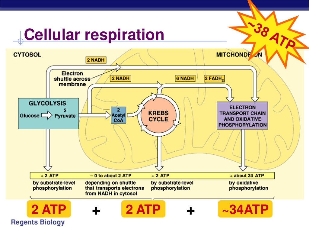 Cellular Respiration Honors Kaiserscience