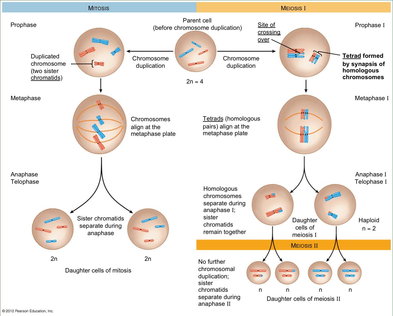 Meiosis Kaiserscience
