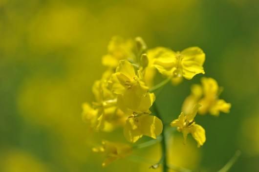 花郷OKADA 菜の花