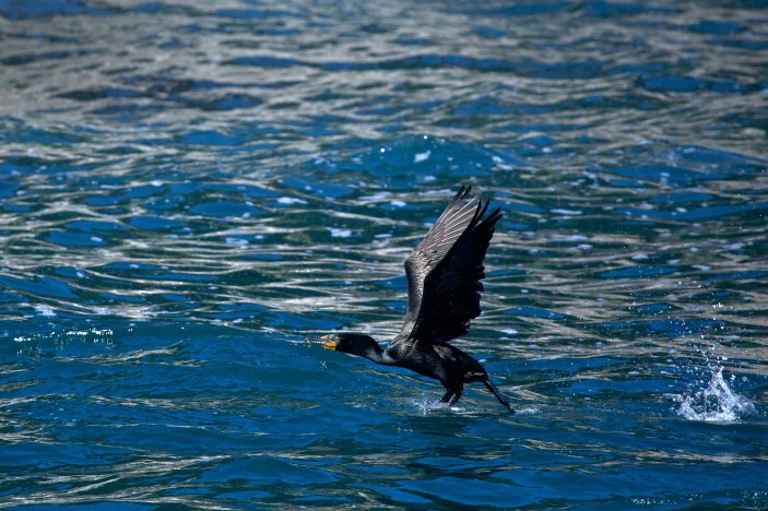 A Cormorant takes off in the Chiswell Islands.