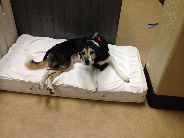 Daisy on her special bed in the PT room.