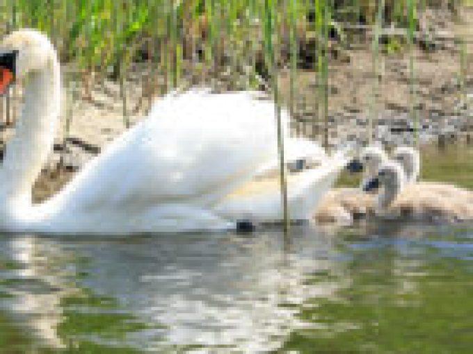 Zwierzęta, łabędzie na spływach kajakowych dębki rzeką Piaśnica, kajaki kaszuby, spływy kajakowe pomorze