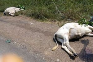 Photo of two cows that were allegedly hit by a car belonging to a mzungu from Narok.