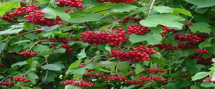 Червена калина узрели плодове