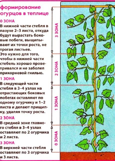 Выращивание флоксусы правильно видео
