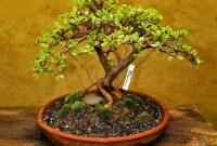 Как правильно посадить денежное дерево?